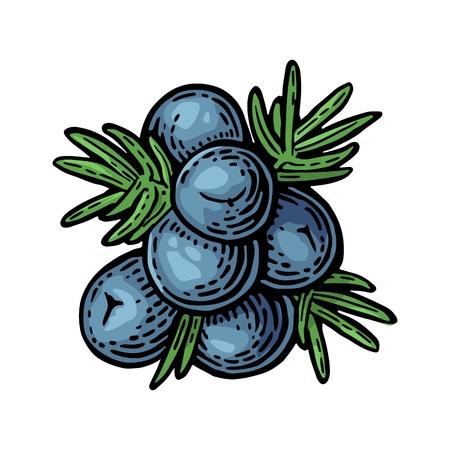 Branch of Juniper mit Beeren. Vintage-Vektor-Farbstich Illustration für Etikett, Poster, Web. Isoliert auf weißem Hintergrund Standard-Bild - 63081910