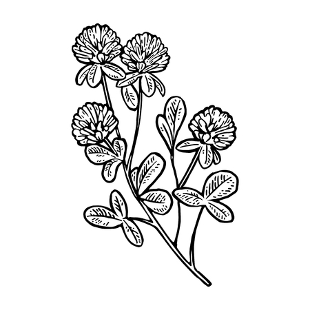 Branch of clover. Vector engraving vintage black illustration. Isolated on white background. Illustration