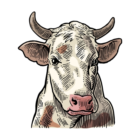 Cows head. Hand drawn in a graphic style. Vintage vector color engraving illustration for label, poster, web. Isolated on white background