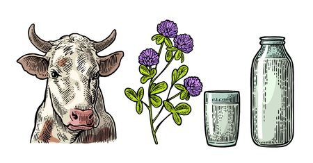 Set Milk farm. Cow head, clover, glass and bottle. Vector engraving vintage color illustration. Isolated on white background.