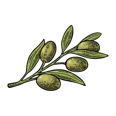 Olives on branch with leaves. Hand drawn design element. Vintage color vector engraving illustration for logotype, poster, web. Isolated on white background.