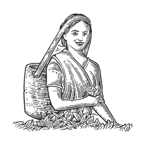 Female Tea Picker Harvesting leaves on plantation. Vector engraved vintage isolated illustration for label, poster, web. Black on white background.