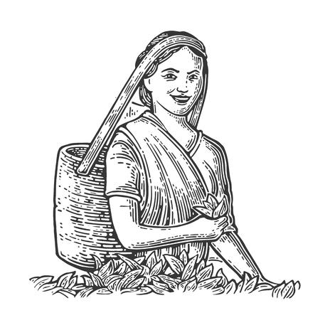 Femme Tea Picker récolte laisse sur la plantation. Vector illustration vintage gravé isolé pour l'étiquette, affiche, web. Noir sur fond blanc.