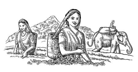 Cueilleuses de thé femelle récoltant des feuilles sur la plantation et le cavalier sur l'éléphant. Vector gravé vintage illustration isolée pour l'étiquette, affiche, web. Noir sur fond blanc.