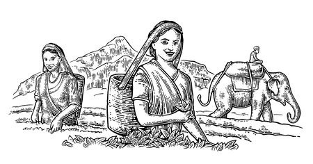 rural india: Female Tea Pickers Harvesting leaves on plantation and rider on elephant. Vector engraved vintage isolated illustration for label, poster, web. Black on white background.