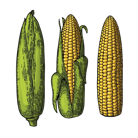 cleaned: Set ripe cob of corn from the closed to the cleaned. Different degree of purification of the leaves. Vector vintage color engraving illustration. Isolated on white background.