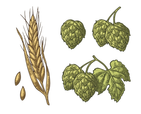 Set hop herb plants with leaf and Ear of barley. Isolated on white background. For labels, packaging and poster with production process brewery beer. Vector color vintage engraved illustration. Hand drawn design element Иллюстрация