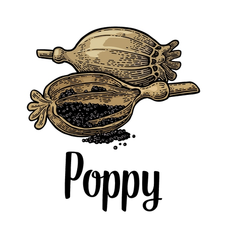 Poppy heads and seeds. Isolated on white background. Vector color vintage engraving illustration. Hand drawn design element and lettering for label and poster