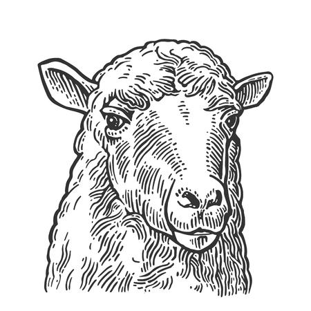 Cabeza de oveja. Dibujado a mano en un estilo gráfico. Ilustración de grabado de vector vintage para gráfico de información, cartel, web. Aislado en el fondo blanco.