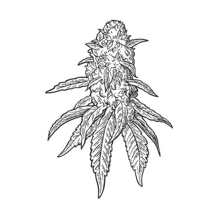 Marijuana mature plant with leaves and buds. Hand drawn design element. Vintage black vector engraving illustration for label, poster, web. Isolated on white background