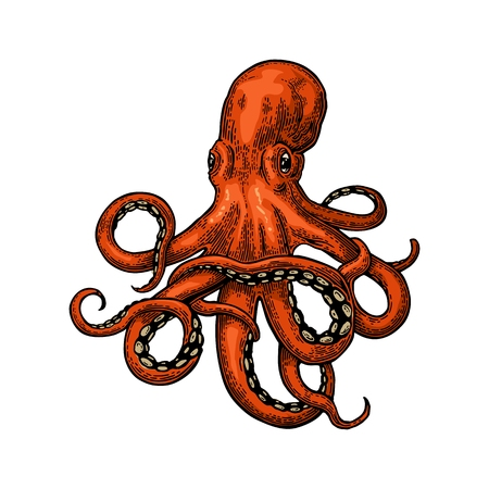 Octopus. Vector color engraving vintage illustrations. Isolated on white background. Reklamní fotografie - 71586175