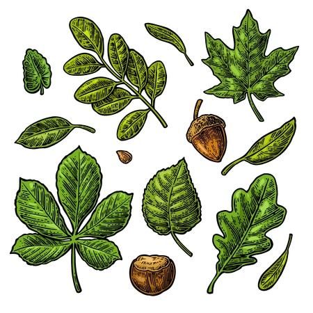 Set green leaf, acorn, chestnut and seed. Vector vintage color engraved illustration. Illustration