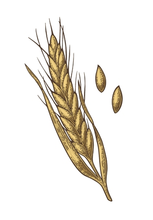 Ears of wheat, barley anf grain malt. Isolated on white background. Fot poster with production process brewery of beer ot whiskey. Vector vintage color engraved illustration. Hand drawn design element