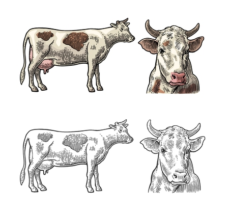 Cow. Side and front view. Hand drawn in a graphic style. Vintage vector engraving illustration for info graphic, poster, web. Isolated on white background. Vetores