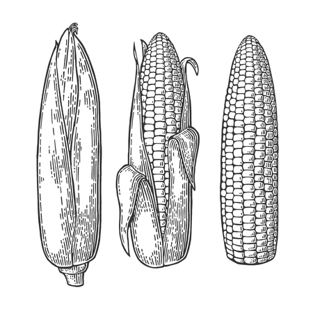 Set ripe cob of corn from the closed to the cleaned. Illustration