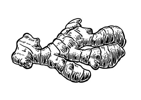 Gember. Wortel. Vintage retro vectorillustratie voor kruiden en specerijen set. Stock Illustratie