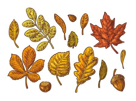 Stel blad, eikel, kastanje en zaad. Vector vintage kleur gegraveerde illustratie. Geïsoleerd op een witte achtergrond Stock Illustratie