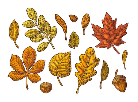 Set leaf, acorn, chestnut and seed. Vector vintage color engraved illustration. Isolated on white background