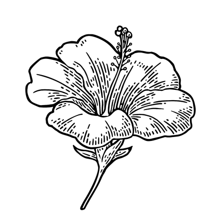 ハイビスカスの花。ブラック ホワイト バック グラウンドに分離されたヴィンテージのイラストを彫刻します。
