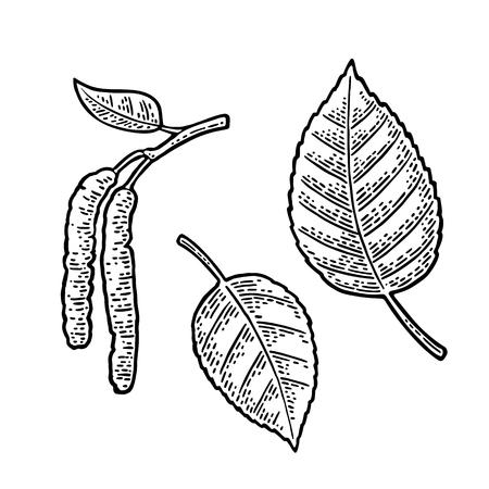 자작 나무 잎과 꽃 봉 오리. 벡터 빈티지 새겨진 된 그림입니다. 일러스트