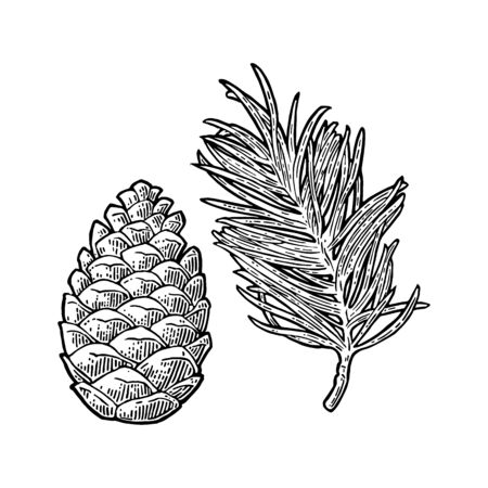 Pine cone and branch of fir tree. Vector vintage black engraving illustration. Ilustração