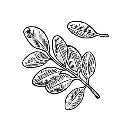 아카시아 잎. 벡터 빈티지 새겨진 된 그림입니다.