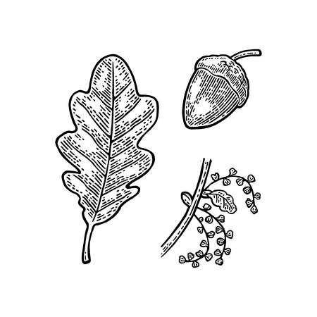 오크 잎과 도토리입니다. 벡터 빈티지 새겨진 된 그림입니다.