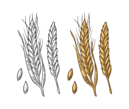 Ear of wheat, barley and grain malt. Vector vintage engraved illustration.