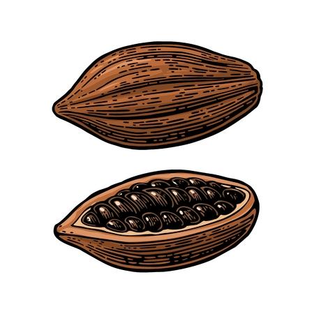 코코아 콩의 과일입니다. 벡터 빈티지 색 조각 그림입니다. 흰색 배경에 고립.