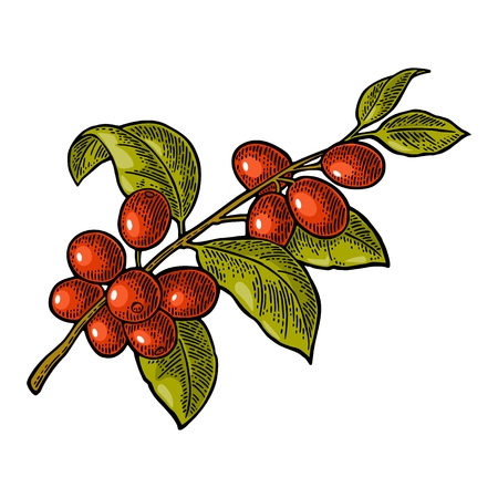 Coffee branch with leaf and berry. Hand drawn sketch style. Vintage color vector engraving illustration for label, web. Isolated on white background. Фото со стока - 86204936