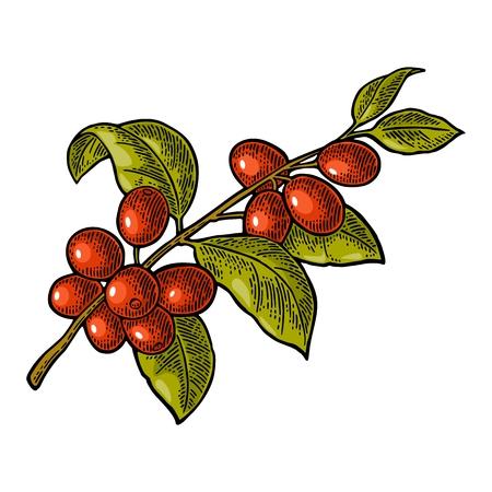 Kaffeezweig mit Blatt und Beere. Hand gezeichnete Skizze Stil. Vintage Farbe Vektor Gravur Illustration für Label, Web. Getrennt auf weißem Hintergrund. Standard-Bild - 86204936