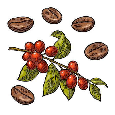 Koffieboon, tak met bladeren en bessen. Hand getrokken vector gravure illustratie in kleur op een witte achtergrond. Stockfoto - 86204939