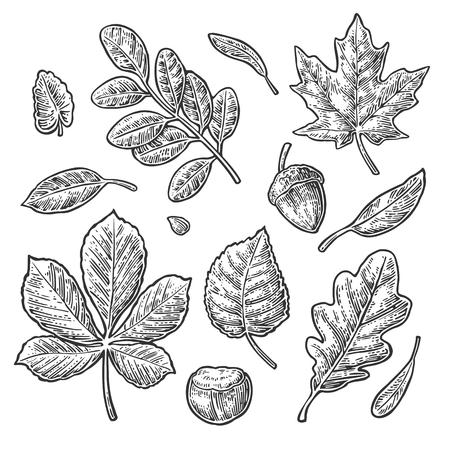 잎, 도토리, 밤 및 씨앗을 설정하십시오. 벡터 빈티지 검은 새겨진 된 그림입니다. 흰 배경에 고립