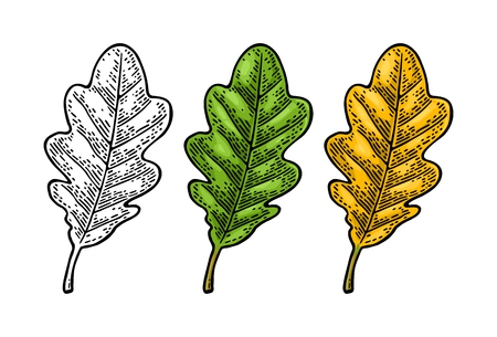 Oak leaf. Spring green and autumn orange. Vector engraved
