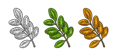 Acacia leaf. Spring green and autumn orange. Vector engraved Illustration