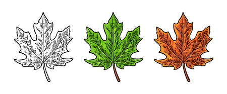 Maple green and orange leaf. Vector vintage color engraving Çizim