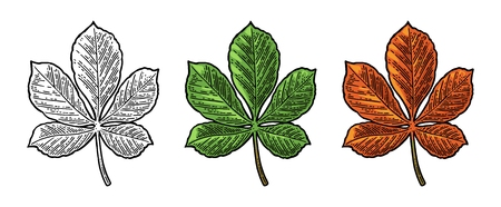 Chestnut leaf. Spring green and autumn orange. Vector engraved