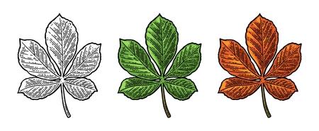 Chestnut leaf. Spring green and autumn orange. Vector engraved