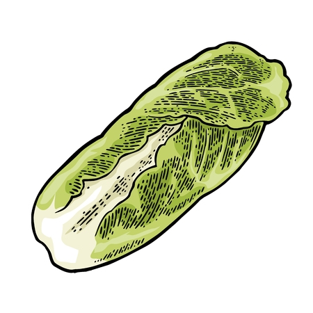 Fresh head of napa cabbage. Vector black vintage engraving