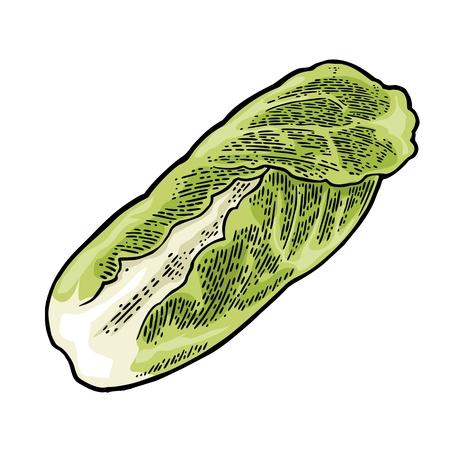 Fresh head of napa cabbage. Vector black vintage engraving