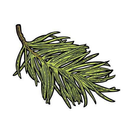 Zweig des Tannenbaums. Vektor Vintage Farbe Gravur Illustration. Vektorgrafik