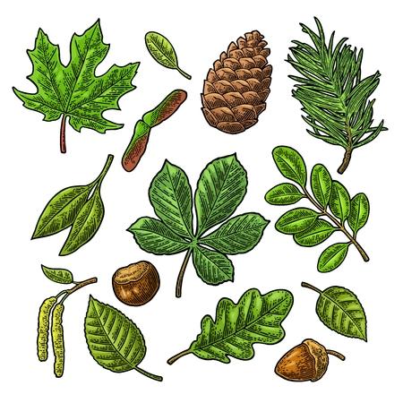 잎, 도토리, 밤 및 씨앗을 설정하십시오. 벡터 빈티지 색상 새겨 져 있음