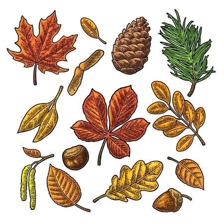 잎, 도토리, 밤 및 씨앗을 설정하십시오. 벡터 빈티지 색상 각인