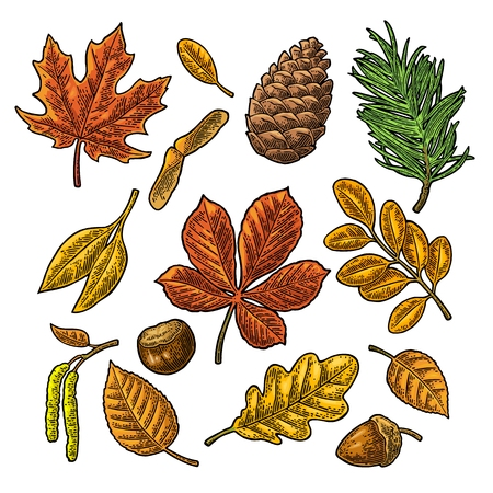 Set leaf, acorn, chestnut and seed. Vector vintage color engraved Illustration