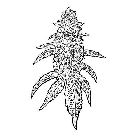 Marihuana-reife Pflanze mit Blättern und Knospen. Vektor Gravur Abbildung