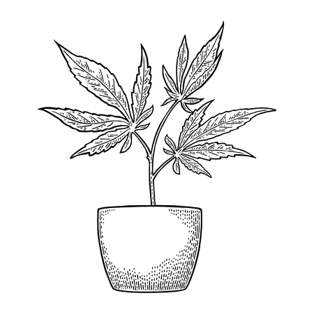 Marijuana plant with leaf in pot. Vintage engraving