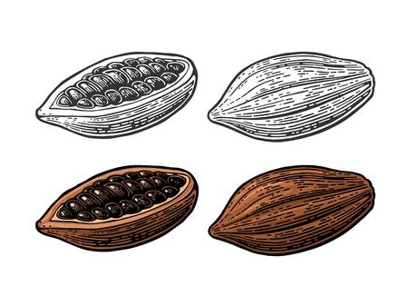 코코아 콩의 과일입니다. 벡터 빈티지 새겨진 일러스트 레이션