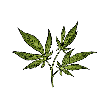 Cannabis marijuana leaf in vintage engraving illustration.