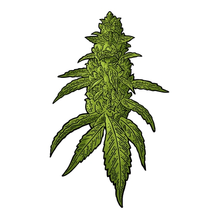 Cannabis marijuana mature plant with leaves and buds in vintage engraving illustration.