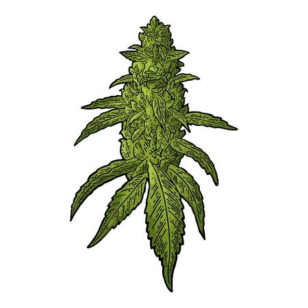 cannabis marijuana plante d & # 39 ; âge mûr avec des feuilles et des bourgeons dans la gravure vintage illustration .